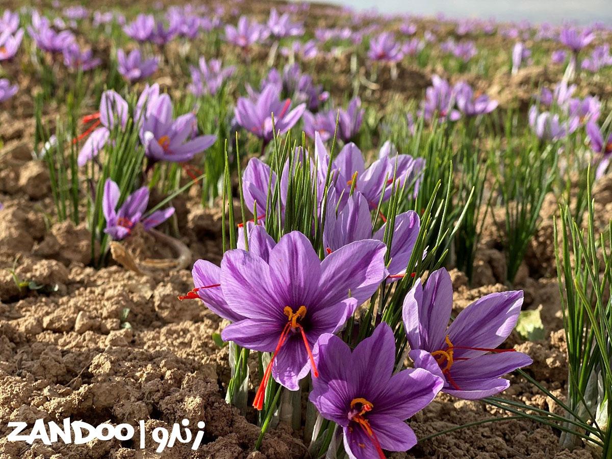 گیاه زعفرانی که زنبورهای زندو از آنها تغذیه میکنند