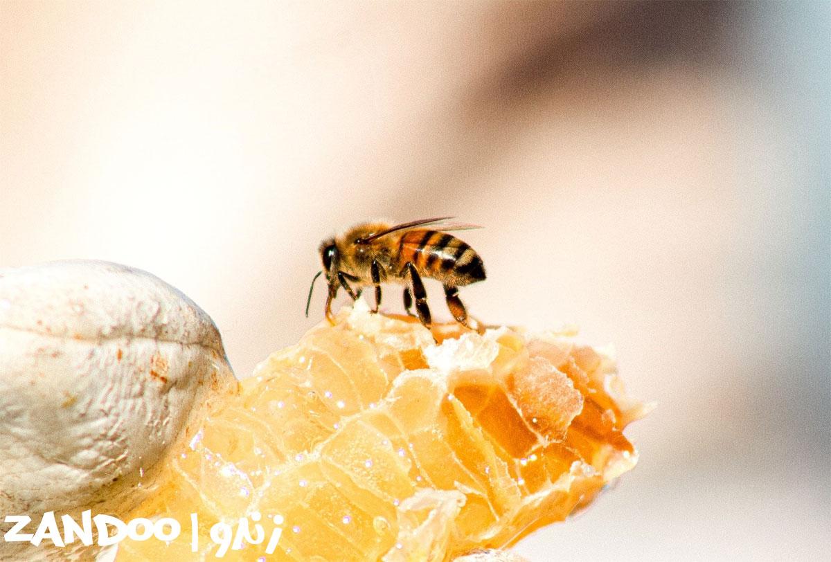 زنبور عسل در حال تولید عسل گوش بره