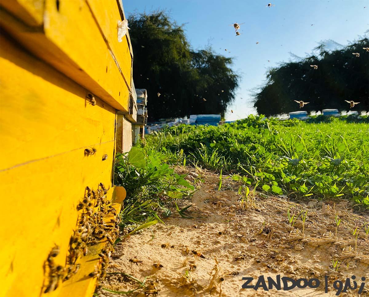 زنبورها در حال جمع آوری شهد گیاهان برای تولید عسل ممتاز