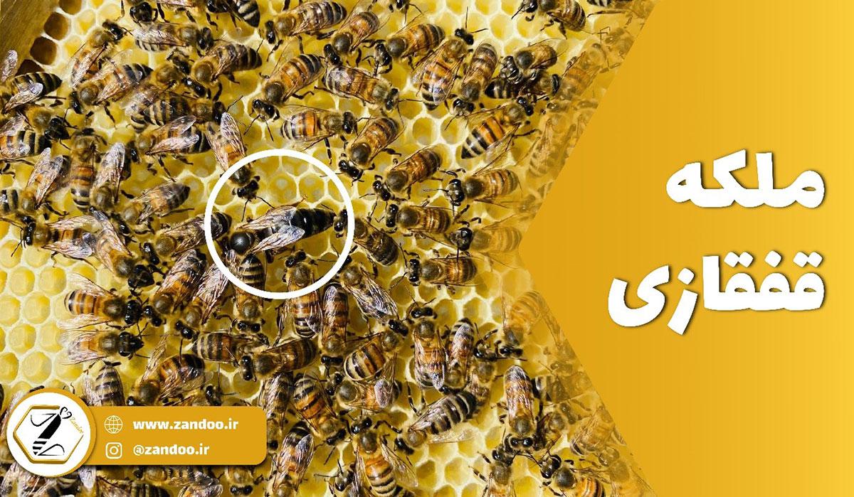 زنبور ملکه قفقازی در میان سایر زنبورها