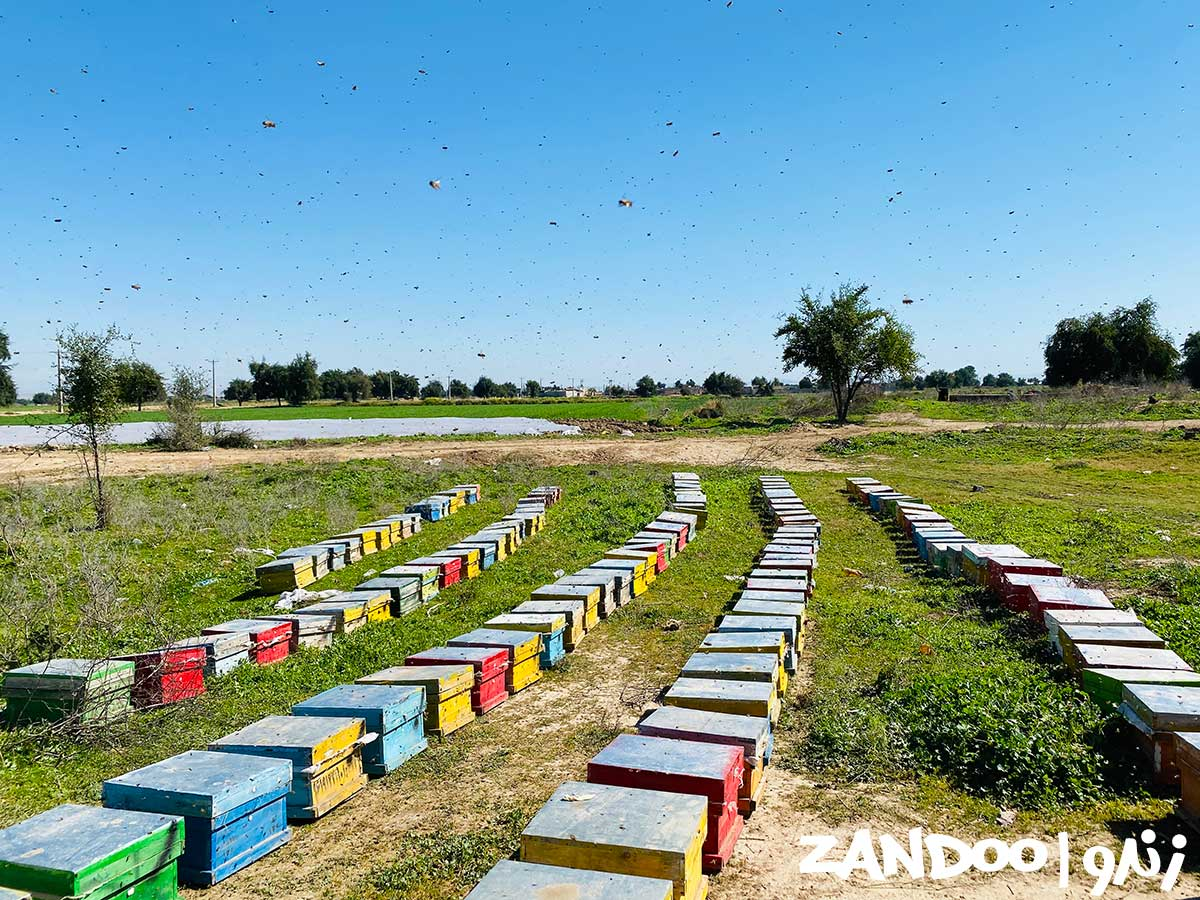 کندوهای زنبورستان زندو آماده برداشت عسل سماق اورگانیک و طبیعی هستند