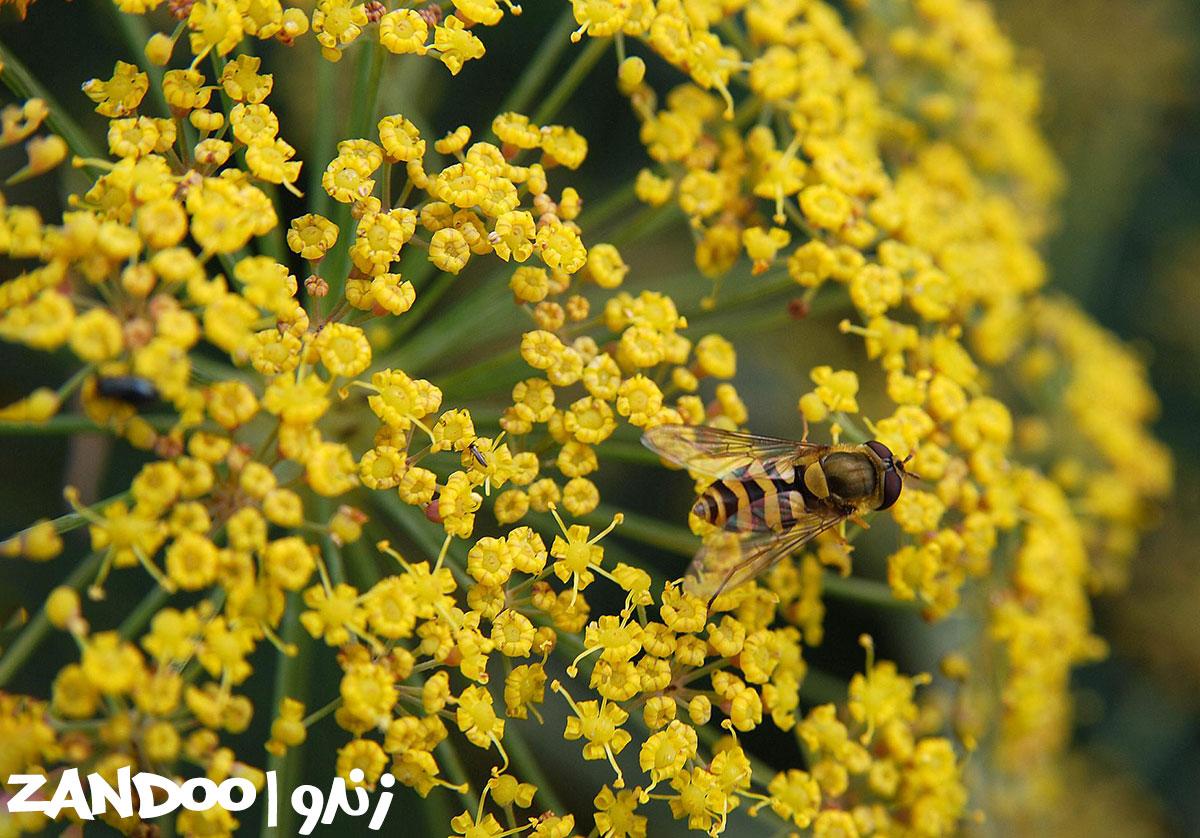 زنبور عسل در حال تغذیه از گیاه رازیانه