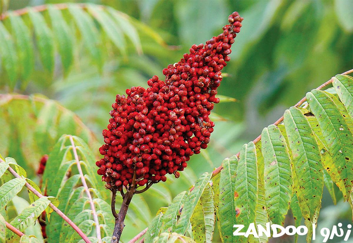 گیاه سماق در زنبورستان های زندو
