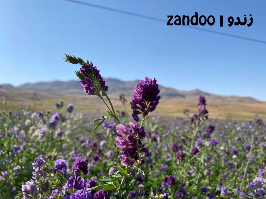عکس از گیاه یونجه در مقاله خواص عسل یونجه